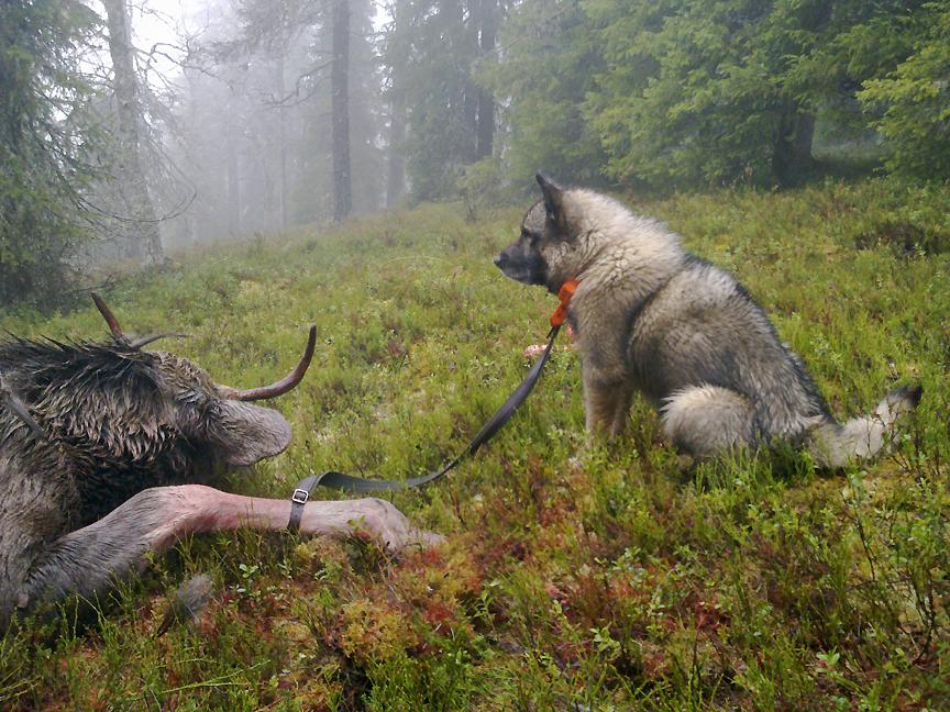 Kieskisen Jesse ja moposarvi pitkän haukun päätteeksi sumuisessa Palotunturissa v.2011