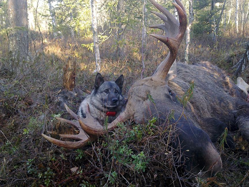 Kieskisen Kille haukkui sarvipään syksyllä 2011